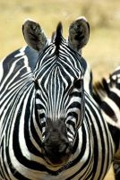 3849063-Zebra-Head-Portrait-Stock-Photo