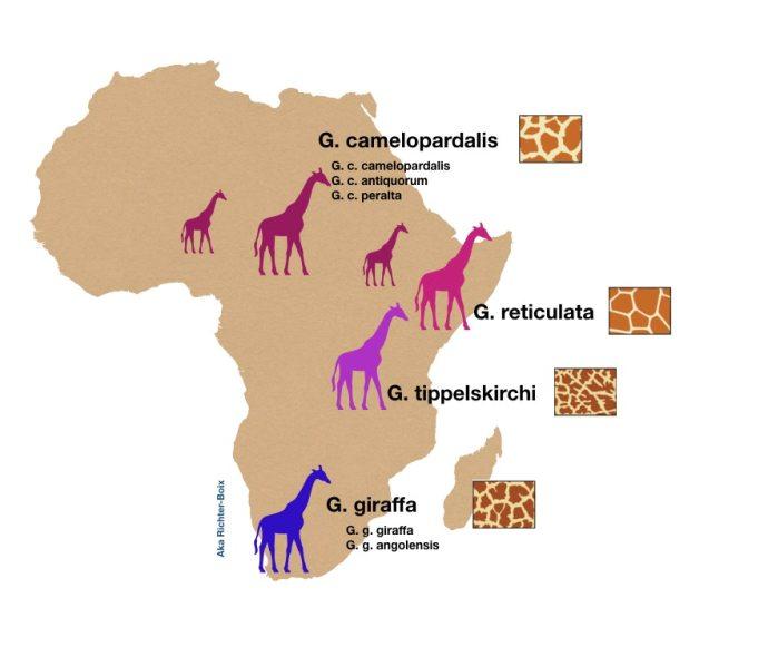 Fig. 7: Las cuatro especies sugeridas por las nuevas evidencias genéticas y su distribución ilustrativa a lo largo del continente africano. Grafía original de: Fennessy et al. (2016) Current Biology 26, 2543–2549.