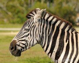 zebra-head-14783868