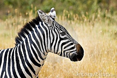 zebra-head-profile-7054209
