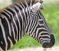 zebra_6169