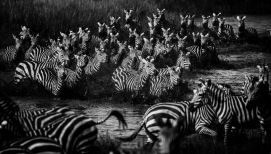 Zebras_crossing_the_river__T_anzania_2015_©_Laurent_Baheux