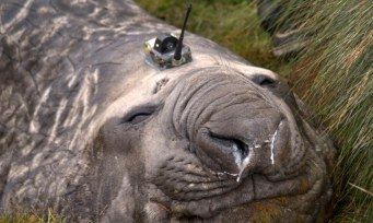 A Southern Ocean elephant seal wears a sensor on its head as it sleeps on an island in the Southern Ocean, Antarctica in this handout photo taken February 27, 2012. Elephant seals wearing head sensors and swimming deep beneath Antarctic ice have helped scientists better understand how the ocean's coldest, deepest waters are formed, providing vital clues to understanding its role in the world's climate. The tagged seals, along with sophisticated satellite data and moorings in ocean canyons, all played a role in providing data from the extreme Antarctic environment, where observations are very rare and ships could not go, said researchers at the Antarctic Climate & Ecosystem CRC in Tasmania. The sensor weighs about 100 to 200 grams and has a small satellite relay which transmits data on a daily basis. Picture taken February 27, 2012. To match story AUSTRALIA-ANTARCTIC/SEALS REUTERS/Mark Hindell/Antarctic Climate and Ecosystems CRC/Handout (ANTARCTICA - Tags: ENVIRONMENT SCIENCE TECHNOLOGY ANIMALS TPX IMAGES OF THE DAY) ATTENTION EDITORS - THIS IMAGE WAS PROVIDED BY A THIRD PARTY. FOR EDITORIAL USE ONLY. NOT FOR SALE FOR MARKETING OR ADVERTISING CAMPAIGNS. THIS PICTURE IS DISTRIBUTED EXACTLY AS RECEIVED BY REUTERS, AS A SERVICE TO CLIENTS. NO SALES. NO ARCHIVES