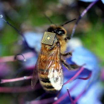 lores-honeybee-1