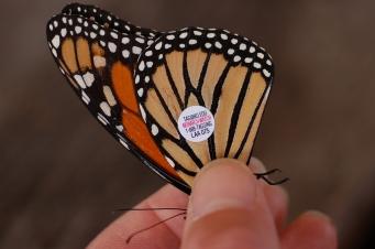Monarch_Butterfly_Danaus_plexippus_Tagged_Closeup_3008px