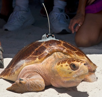 """""""Pine Tyme,"""" a subadult loggerhead sea turtle fitted with a satellite tracking transmitter, gets her bearings on a Florida Keys beach before crawling into the Atlantic Ocean Friday, Aug. 15, 2014, in Marathon, Fla. Rehabilitated at the Keys-based Turtle Hospital, the 80-pound female turtle is the 11th and final turtle being tracked online during the Tour de Turtles, a three-month-long """"race"""" organized by the Sea Turtle Conservancy. FOR EDITORIAL USE ONLY (Andy Newman/Florida Keys News Bureau/HO)"""