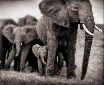 nick brandt BrandtN_ElephantMotherTwoBabies
