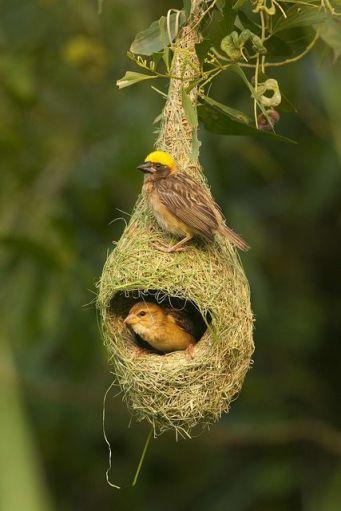 55150953bb3bdc3d8981bc0d765b5f93--bird-nests-nest-bird