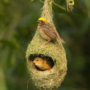 55150953bb3bdc3d8981bc0d765b5f93--bird-nests-nest-bird