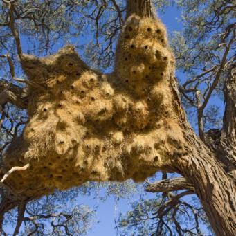 Sociable weaver (Philetairus socius) nest, near Sossus Vlei, Namibia For sale in the UK only.