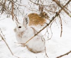 snowshoe-hare-warren-nelson-memorial-bog-sax-zim-bog-mn-img_0865
