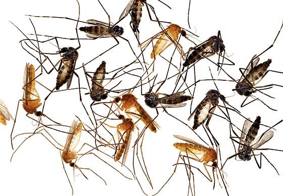 mosquito120528_2_560