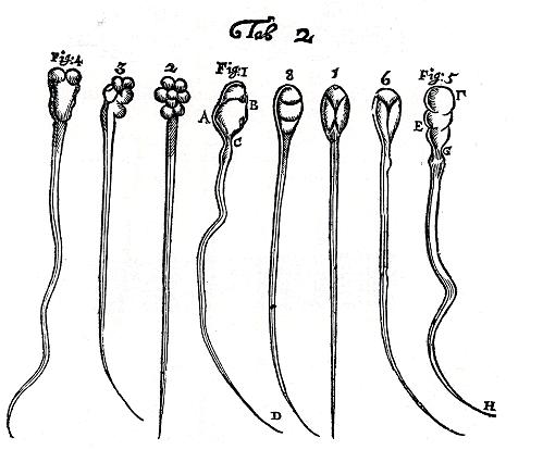 spermaceadakavec