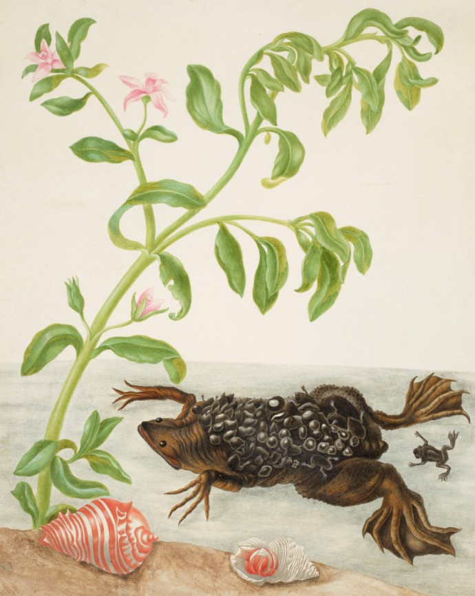maria-sibylla-merian-shoreline-purslane-and-suriname-toad