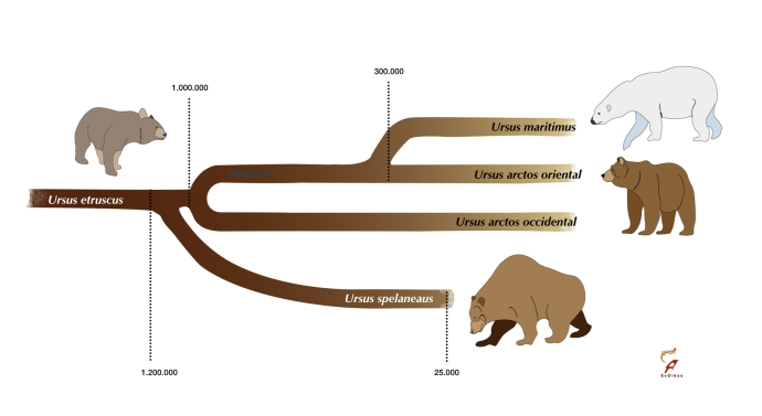 Evolución osos