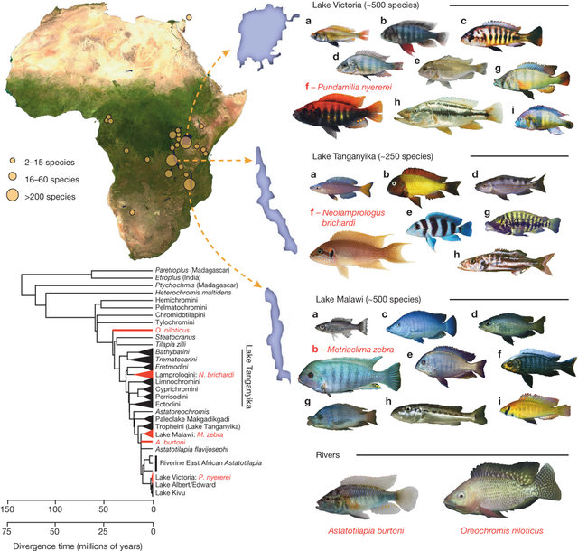 The-adaptive-radiation-of-African-cichlid-fish-Top-left-map-of-Africa-showing-lakes-in_W640