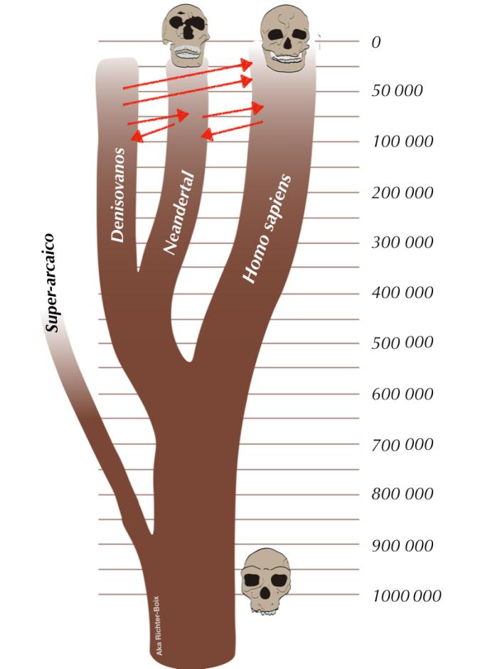 Árbol evolutivo de Homo sapiens, Homo neanderthalis y Denosivanos, y sus respectivos momentos de hibridación.